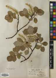 Salix lanata herbarium specimen from Meall na Saone, VC88 Mid Perthshire in 1909 by William Edgar Evans.
