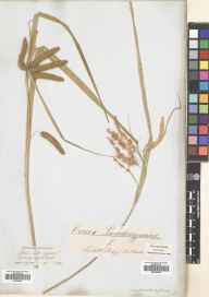 Carex pseudocyperus herbarium specimen from Croydon, VC17 Surrey in 1837.