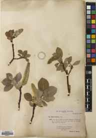 Salix lanata herbarium specimen from Glen Fiagh, VC90 Angus in 1894 by Rev. Edward Francis Linton.