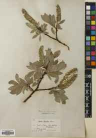 Salix lanata herbarium specimen from Meal na Samhna, VC88 Mid Perthshire in 1909 by William Edgar Evans.