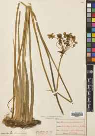 Butomus umbellatus herbarium specimen from Ennis, VCH9 Co. Clare in 1892 by Patrick Bernard O' Kelly.