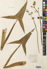 Sagittaria sagittifolia herbarium specimen from River Thames, VC17 Surrey in 1838 by James Forbes Young.