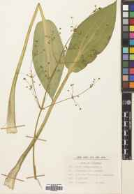 Alisma plantago-aquatica herbarium specimen from Duddingston Loch, VC83 Midlothian in 1969 by Clara Winsome Muirhead.