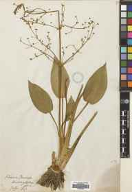 Alisma plantago-aquatica herbarium specimen from Duddingston Loch, VC83 Midlothian in 1847.