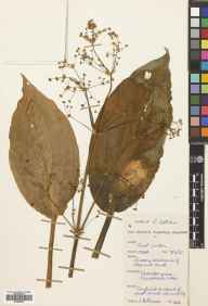 Alisma plantago-aquatica herbarium specimen from East Linton, VC82 East Lothian in 1955 by E.A. Brash.