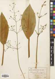 Alisma plantago-aquatica herbarium specimen from Duddingston, VC83 Midlothian in 1905.