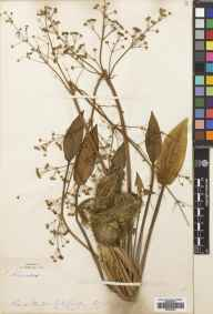 Alisma plantago-aquatica herbarium specimen from New Forest, VC11 South Hampshire in 1878.