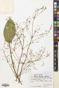 Alisma plantago-aquatica herbarium specimen from Mountain Ash, VC41 Glamorganshire in 1972 by Dr Effie Moira Rosser (The Manchester Museum).