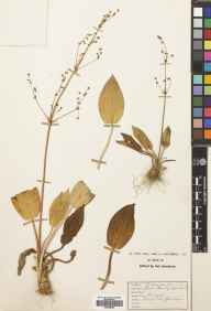 Alisma plantago-aquatica herbarium specimen from Kenfig Pool, VC41 Glamorganshire in 1934 by Mrs Enid M MacAlister Hall.