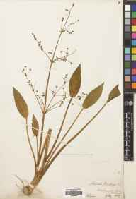 Alisma lanceolatum herbarium specimen from Duddingston Loch, VC83 Midlothian in 1869 by William Evans.