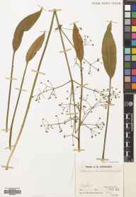 Alisma lanceolatum herbarium specimen from Byfleet, VC17 Surrey in 1932 by Mr Job Edward Lousley.