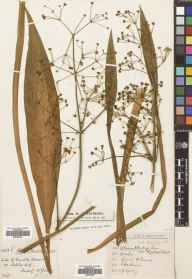 Alisma lanceolatum herbarium specimen from Ashley Hill, VC34 West Gloucestershire in 1879 by Mr William Booth Waterfall.