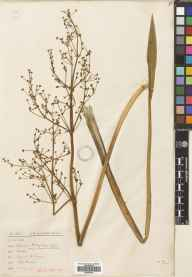 Alisma lanceolatum herbarium specimen from Lewes, VC14 East Sussex in 1877 by Mr James Herbert Augustus Jenner.