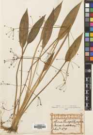Alisma lanceolatum herbarium specimen from Staines, VC21 Middlesex in 1878 by Mr Alexander Craig Christie.