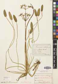 Damasonium alisma herbarium specimen from Headley Heath, VC17 Surrey in 1899 by Mr Albert John Crosfield.