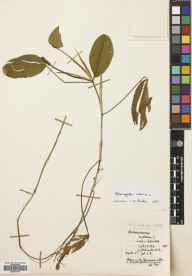 Potamogeton natans herbarium specimen from Loch a'Gheoidh, VC102 South Ebudes in 1957 by R B Knox.