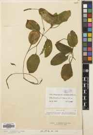 Potamogeton coloratus herbarium specimen from Braunton, VC4 North Devon in 1897 by Mr Stephen Troyte Dunn.