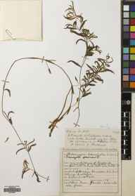 Potamogeton gramineus herbarium specimen from Loch of Harray, VC111 Orkney in 1937 by James Sinclair.