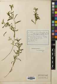 Potamogeton gramineus herbarium specimen from Loch of Boardhouse, VC111 Orkney in 1913 by Dr Henry Halcro Johnston.