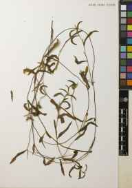 Potamogeton gramineus herbarium specimen from Loch of Boardhouse, VC111 Orkney in 1923 by Dr Henry Halcro Johnston.