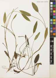 Potamogeton polygonifolius herbarium specimen from Loch Corra Vaigh, VC101 Kintyre in 1899 by Mr Alexander Somerville.