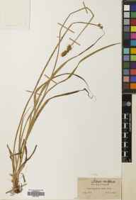 Carex vulpina herbarium specimen from Gower, VC41 Glamorganshire in 1848 by John Ball.