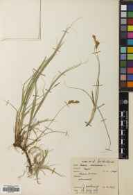 Carex arenaria herbarium specimen from Farr, VC108 West Sutherland in 1955 by John Anthony.