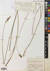 Carex disticha herbarium specimen from Bennan Head, VC100 Clyde Islands in 1934 by Mr Robert MacKechnie.
