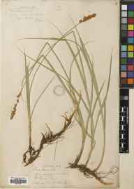 Carex disticha herbarium specimen from Cousland, VC83 Midlothian in 1836 by John Knapp.