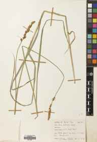 Carex disticha herbarium specimen from Dungeness, VC15 East Kent in 1954 by Mary McCallum Webster.