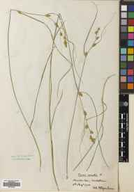 Carex remota herbarium specimen from Arniston, VC83 Midlothian in 1902 by William Edgar Evans.