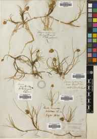 Carex maritima herbarium specimen from River Naver, VC108 West Sutherland in 1836 by James MacNab.