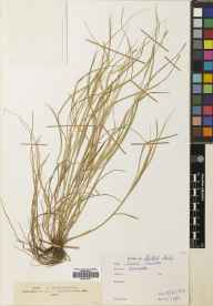 Carex remota herbarium specimen from Warriston, VC83 Midlothian in 1807.