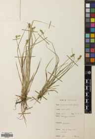 Carex echinata herbarium specimen from Stoer Point, VC108 West Sutherland in 1955 by I J B Robertson.