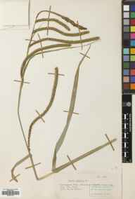 Carex pendula herbarium specimen from Whitmore, VC39 Staffordshire in 1952 by Eric Smoothy Edees.