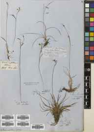 Carex capillaris herbarium specimen from Craig Halliach in 1855 by Patrick Neill Fraser.