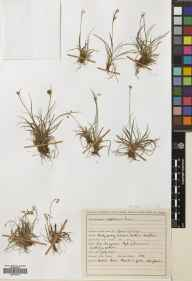 Carex capillaris herbarium specimen from Durness, VC108 West Sutherland in 1946 by James Sinclair.