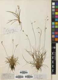 Carex capillaris herbarium specimen from Ross & Cromarty in 1847.