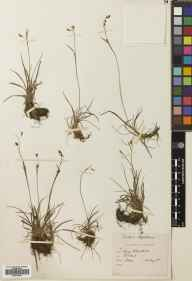 Carex capillaris herbarium specimen from Creag na Caillich, VC88 Mid Perthshire in 1888 by Robert Hunt Meldrum.