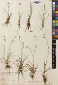Carex capillaris herbarium specimen from Tongue, VC108 West Sutherland in 1900 by Rev. Edward Shearburn Marshall.