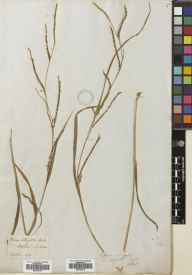 Carex strigosa herbarium specimen from Bepton, VC13 West Sussex in 1838 by Hooker.