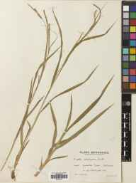 Carex strigosa herbarium specimen from Colerne, VC7 North Wiltshire in 1938 by Mr Edward Charles Wallace.
