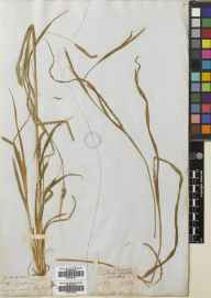 Carex strigosa herbarium specimen from Lacock, VC7 North Wiltshire in 1837 by Richard Chandler Alexander Prior.