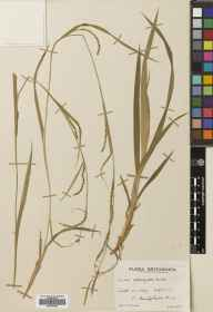 Carex strigosa herbarium specimen from Empshott, VC12 North Hampshire in 1937 by Mr Edward Charles Wallace.