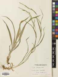 Carex strigosa herbarium specimen from Horsham, Rowhook, VC13 West Sussex in 1939 by Mr Edward Charles Wallace.