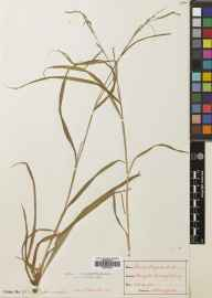 Carex strigosa herbarium specimen from Reigate, VC17 Surrey in 1899 by Mr Albert John Crosfield.