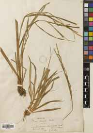 Carex strigosa herbarium specimen from Bishop Sutton, VC6 North Somerset in 1869 by Prof John Firminger Duthie.