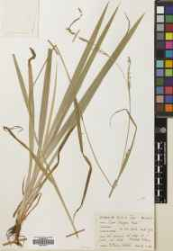 Carex strigosa herbarium specimen from Rievaulx, VC62 North-east Yorkshire in 1960 by Mary McCallum Webster.