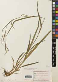 Carex strigosa herbarium specimen from Drimnagh, VCH21 Co. Dublin in 1893 by Nathaniel Colgan.