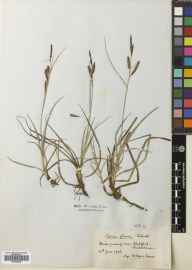 Carex flacca herbarium specimen from Slateford, VC83 Midlothian in 1906 by William Edgar Evans.